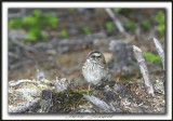 BRUANT À GORGE BL ANCHE , jeune  /  WHITE-THROATED SPARROW, immature    _MG_7327a