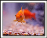 POISSONS ROUGES  /  GOLDFISH