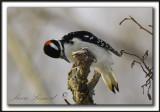 _MG_0296c    -  PIC CHEVELU mâle  /  HAIRY WOODPECKER male