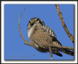 CHOUETTE ÉPERVIÈRE /  NORTHERN HAWK OWL    _MG_1925aa