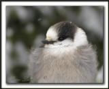 MÉSANGEAI DU CANADA  tout ébouriffé par un froid de canard  -   CANADA JAY  all a flutter in a chilly day        _MG_1955a