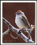 BRUANT FAMILIER  /  CHIPPING SPARROW   _MG_0091b