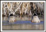 SANS DESSUS-DESSOUS / UP SIDE DOWN   -   CANARD COLVERT, mâle  -  MALARD, male   _MG_0172a