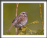 BRUANT CHANTEUR / SONG SPARROW    _MG_1716a