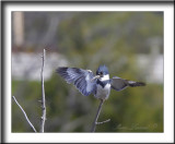 MARTIN PÊCHEUR  /  BELTED KINGFISHER    _MG_1401c