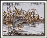 GRAND CHEVALIER   /   GREATER YELLOWLEGS    MG_1145b