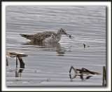 GRAND CHEVALIER   /   GREATER YELLOWLEGS    _MG_1204a