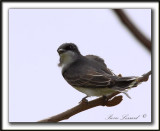 TYRAN TRITRI  /  EASTERN KINGBIRD       _MG_2452a