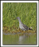 GRAND CHEVALIER   /   GREATER YELLOWLEGS    _MG_2256a