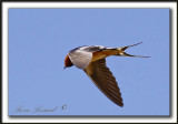 HIRONDELLE RUSTIQUE  /  BARN SWALLOW   _MG_4481a
