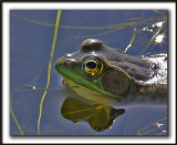 GRENOUILLE  /  FROG    _MG_4061d
