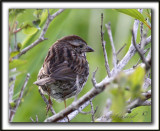 BRUANT CHANTEUR / SONG SPARROW    _MG_1402a