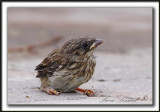 BRUANT CHANTEUR , jeune  / SONG SPARROW, immature    _MG_6110a