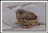 BRUANT CHANTEUR , jeune  / SONG SPARROW, immature    _MG_6118a