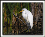 _MG_2989a   -   GRANDE AIGRETTE  /  GREAT EGRET
