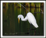 GRANDE AIGRETTE  /  GREAT  EGRET    _MG_3227a