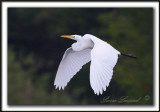 GRANDE AIGRETTE  /  GREAT EGRET    _MG_2494a