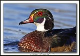 CANARD BRANCHU  /  WOOD DUCK    _MG_4463 aa