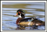 CANARD BRANCHU  /  WOOD DUCK    _MG_4581aa