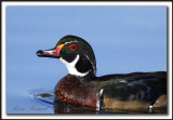 CANARD BRANCHU  /  WOOD DUCK    _MG_4706 a