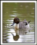 CANARD PILET, mâle   /    NORTHERN PINTAIL, male    _MG_7188 a