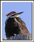 GRAND-PIC   /   PILEATED WOODPECKER    _MG_0538 a