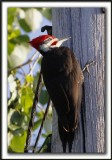 GRAND-PIC   /   PILEATED WOODPECKER    _MG_0587 a