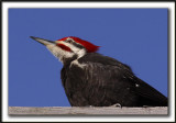 GRAND-PIC   /   PILEATED WOODPECKER    _MG_0734 a
