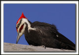 GRAND-PIC   /   PILEATED WOODPECKER    _MG_0745 a