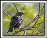 VACHER À TÊTE BRUNE, femelle  /   BROWN-HEADED COWBIRD, female    _MG_0883 a