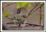ROITELET À COURONNE RUBIS   /   RUBY-CROWNED  KINGLET