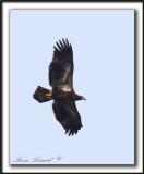 PYGARGUE À TÊTE BLANCHE, pas encore en plumage d'adulte  /   BALD EAGLE,  immature    _MG_2672 a