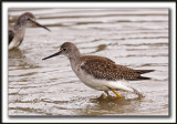 PETIT CHEVALIER   /   LESSER YELLOWLEGS     _MG_3714 a