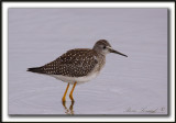 PETIT CHEVALIER   /   LESSER YELLOWLEGS     _MG_3723 a