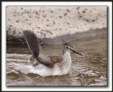 PETIT CHEVALIER   /   LESSER YELLOWLEGS     _MG_3740 a