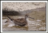 PETIT CHEVALIER   /   LESSER YELLOWLEGS     _MG_3746 a