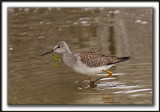 PETIT CHEVALIER   /   LESSER YELLOWLEGS     _MG_3538 a