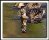 CANARD COLVERT,  femelle   /  MALLARD,  female    _MG_5405 a