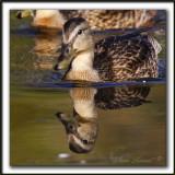 CANARD COLVERT,  femelle   /  MALLARD,  female    _MG_5406 a