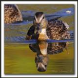 CANARD COLVERT,  femelle   /  MALLARD,  female    _MG_5403 a
