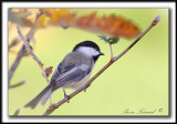 mésanges-chickadee