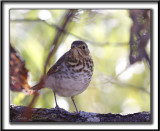 GRIVE À DOS OLIVE   /   SWAINSON'S THRUSH