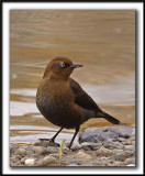 QUISCALE ROUILLEUX  / Plumage d'automne   -  RUSTY BLACKBIRD  /  Fall feathers    _MG_9426 a