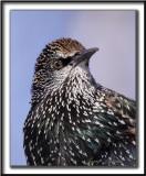 ÉTOURNEAU SANSONNET  / EUROPEAN STARLING  - CROP  /  Finalement c'est une bel oiseau l'étourneau,  on dirait un pic!  _MG_3150 a