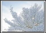 _MG_4750b+.jpg  -  NEIGE GIVRÉE APRÈS UN ÉPAIS BROUILLARD  / FROSTED SNOW AFTER   ICE FOG