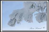 _MG_4790a .jpg  -  NEIGE CRISTALLISÉE SUR DES AIGUILLES DE PIN / SNOW CRYSTALS ON PINE NEEDLES