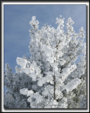 _MG_4762bb .jpg -  NEIGE GIVRÉE APRÈS UN ÉPAIS BROUILLARD  / FROSTED SNOW AFTER   ICE FOG