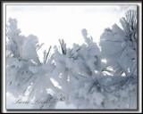 _MG_478b .jpg -  NEIGE CRISTALLISÉE SUR DES AIGUILLES DE PIN / SNOW CRYSTALS ON PINE NEEDLES