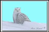 _MG_4088b .jpg  -  LE HIBOU RIEUR D'AMÉRIQUE  /  THE SMILY OWL OF AMERICA...
