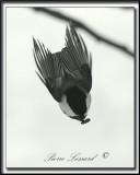 _MG_4584a .jpg -  MÉSANGE À TÊTE NOIRE  /  BLACK- CAPPED CHICKADEE